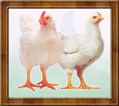 Disperindag: Tak Masalah Harga Ayam Berbeda