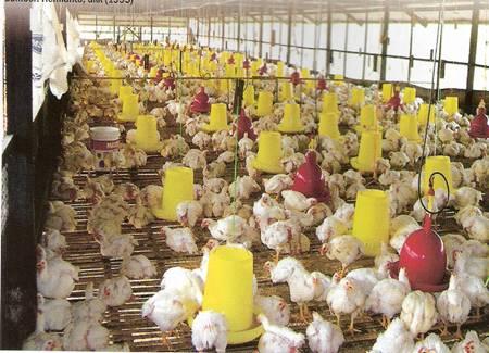 Usaha Ayam Potong Bersaing Ketat