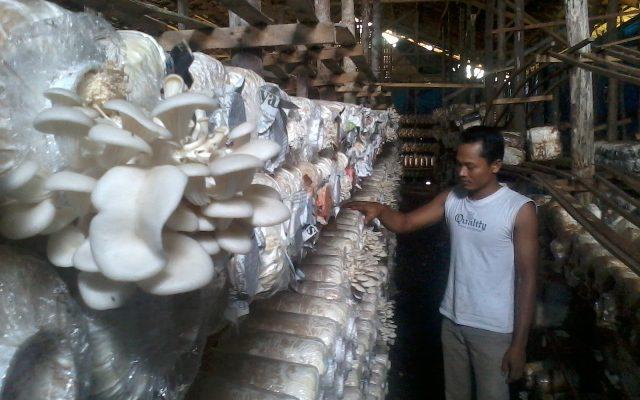 Jamur Tiram Masih Potensial di Pekanbaru