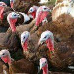 Virus Flu Burung Serang Peternakan Kalkun Inggris