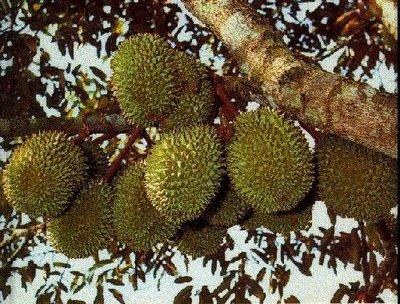 Waduh, Durian Siak Diserang Penyakit