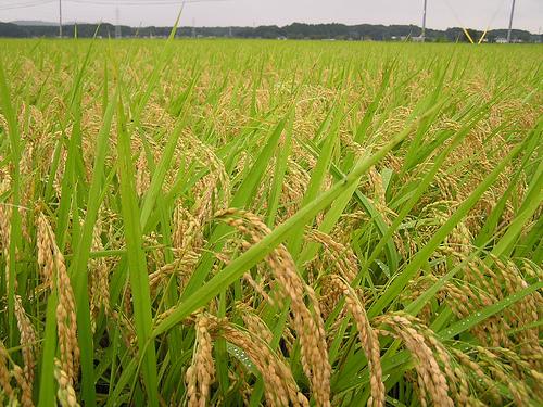 Luas Area Panen Bertambah, Produksi Padi di Riau Meningkat