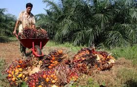 Sistem Pengelolaan Sawit di Riau Bermasalah