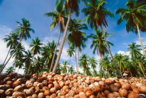 Pemkab Inhil Fokus Perbaiki Tanggul Untuk Kebun Kelapa Rakyat
