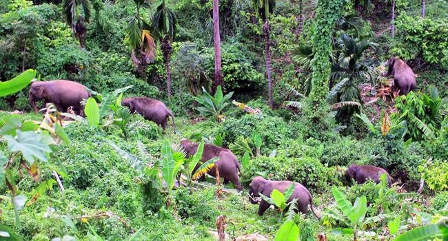Ribuan Gajah di Thailand Kelaparan