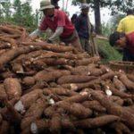 Peluang Bagi Masyarakat Riau Untuk Jadi Investor Pabrik Pengolahan Ubi Kayu