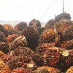 Berikut Ini Informasi Harga TBS Sawit di Riau untuk Sepekan Kedepan