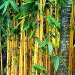 Inilah Mitos Bambu Kuning yang Dipercaya Bisa Jadi Pagar Gaib