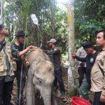 Lagi! Kaki Anak Gajah di Inhu Terjerat Hingga Infeksi