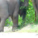 Lagi! Gajah Liar di Riau Kembali Terkena Jerat Hingga Luka