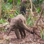 Anak Gajah di Riau Berhasil Dilepaskan dari Jeratan