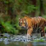 Catatan Sejarah 22 Januari: Pertama di Dunia, Harimau Dilepasliarkan
