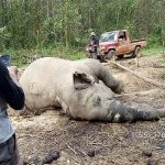 Ini Penyebab Matinya Gajah Betina di Konsesi PT Arara Abadi