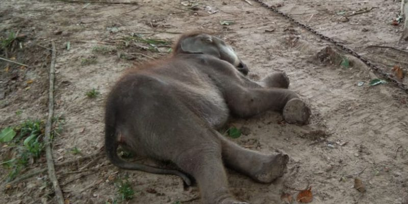 Kakinya Pernah Terjerat Parah, Anak Gajah Ini Akhirnya Mati Setelah Dirawat di PLG Riau