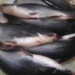 Harga Ikan Patin dan Gurami di Pekanbaru Turun Hingga Rp5.000 per Kilogram