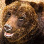 IRT 55 Tahun Selamat dari Terkaman Beruang dengan 60 Jahitan