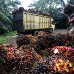 TBS Sawit Riau Naik di Tengah Serangan Corona