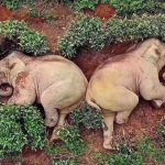 Fotonya Viral, 14 Ekor Gajah Tertidur di Kebun Teh, Diduga Mabuk Minum Anggur