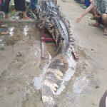 Ditangkap Warga di Dumai, BBKSDA Riau: Buaya Masih Hidup Tapi Ada Luka