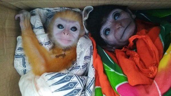 Imut dan Lucu, Ini Penampakan Satwa Langka yang Diamankan BKSD Riau