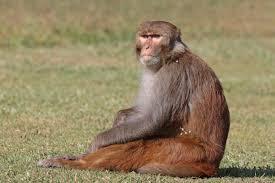 Gawat, Monyet India Curi Sampel Darah Tes Coronavirus