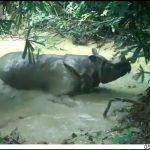 Badak Jawa Tinggal 72 Ekor, Lindungi Apapun Harganya