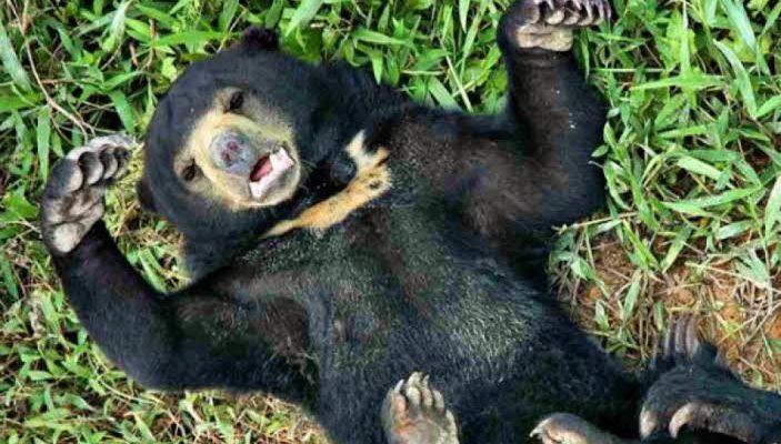 2 Beruang Madu Diamankan dari Pemukiman Warga