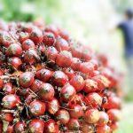 Harga TBS Sawit Riau: Jadi Rp1.984 Akibat Ekspor CPO Naik Tajam