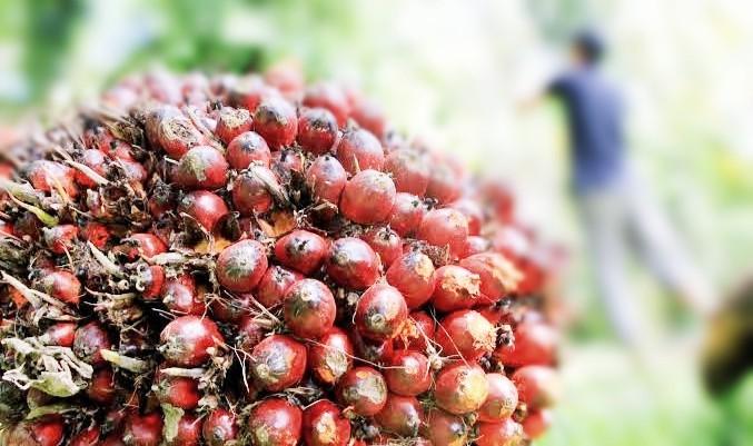 Minyak Sawit Indonesia Belum Bebas dari 'Jajahan' Eropa