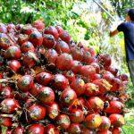 Kebijakan Hilirisasi Sawit Perlu Dioptimalkan untuk Angkat Ekonomi Riau