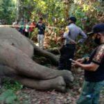 Polisi Tangkap Dua Orang Pembunuh Gajah di Inhu