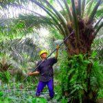 Riau Dapat Jatah Rp270 M untuk Replanting Sawit