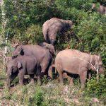 Belasan Kawanan Gajah di Riau Digiring Keluar Kampung