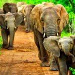 Kawanan Gajah Liar 'Dihalau' Keluar Sawit Warga