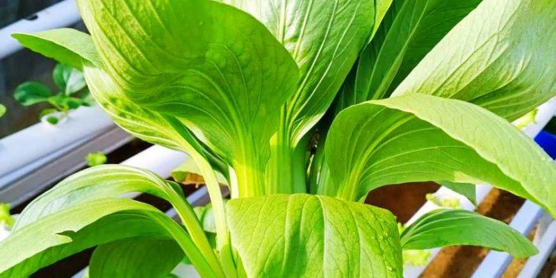 'Najdahfarm' Sayur Hidroponik, Peluang Usaha Menjanjikan di Bagan Batu, Rohil